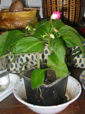 http://udcaoe.free.fr/jardin/plantes-appart/goutte-de-sang-fleurie.jpg